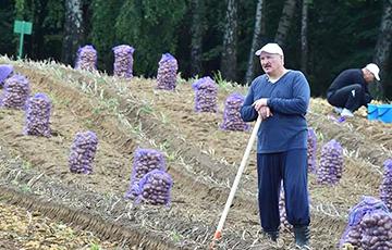Цена картошки Лукашенко