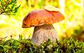 На каких грибах и ягодах еще могут заработать белорусы?