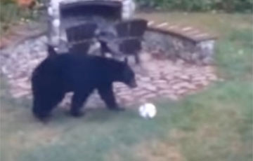 Игра медведей в футбол стала хитом Сети