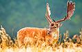 У диких оленей в США нашли следы коронавируса