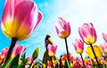 В Нидерландах из-за коронавируса уничтожают урожай тюльпанов