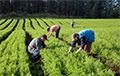 Жыхарам Маладзечна прапаноўваюць працаваць за вядро гародніны