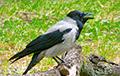 «Птица запомнит и будет мстить»: в Гродно вороны нападают на прохожих