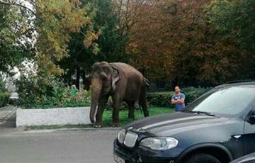 Фотофакт: в Гомеле выгуливали индийского слона