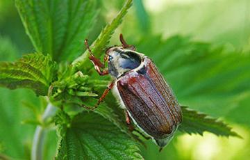 В Беларуси пропали майские жуки0