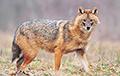 На севере Беларуси появился новый для наших широт хищник