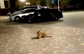 Видеофакт: В Одессе по ночной улице гулял львенок