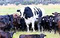 Одних и тех же белорусских коров пытались дважды ввезти в Россию