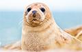Прогулка тюленей по городу стала хитом сети