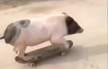 Катающаяся на скейтборде свинья стала звездой Сети