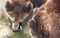 Видеофакт: Турист случайно накормил медведя своим iPhone