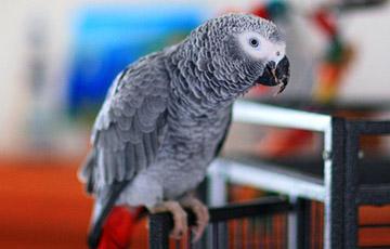 Відэагіт: Папугай, які вырас сярод сабак, брэша і ахоўвае дом