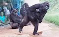 Эмоции горилл из-за дождя стали хитом Сети
