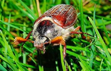 Белорусы торгуют в интернете майскими жуками