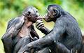 Ученые нашли у шимпанзе особенности, присущие человеку