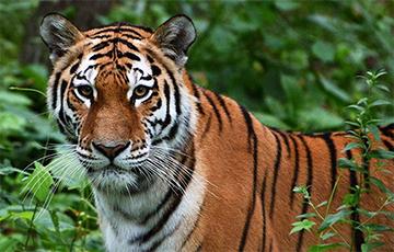 Тигров, которых не пустили в Беларусь, отправили в Испанию