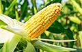 В Логойске начали производить пакеты из кукурузы