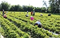 No Profit For Belarusian Strawberry Farmers