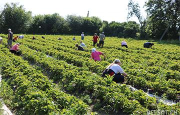 Занимающиеся клубникой белорусские фермеры остались без прибыли