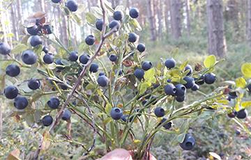 Как белорус зарабатывал на сборе черники в Финляндии