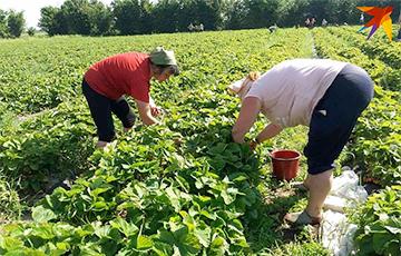 В Беларуси фермеры зовут людей на поле спасать урожай клубники