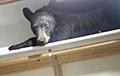 Уснувший на шкафу медведь стал звездой Сети