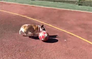 Играющая в футбол собака стала звездой Сети