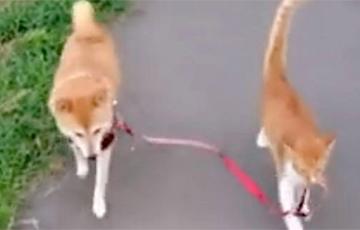 Видеохит: Кот выгуливает собаку по поводке