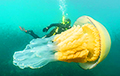 У берегов Британии нашли медузу размером с человека