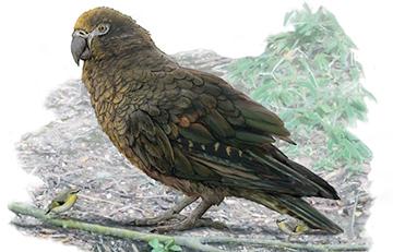 Ученые открыли новый вид гигантского ископаемого попугая