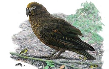 В Новой Зеландии обнаружили гигантского попугая