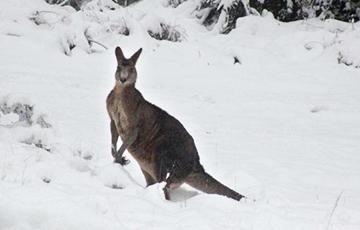 Відэафакт: Кенгуру гарэзяць у снезе