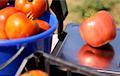 Видеофакт: Чаусские сельчане выращивают гигантские помидоры