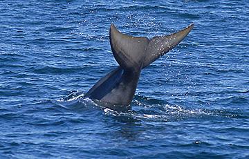Видеофакт: у берегов Франции впервые за долгое время заметили китов