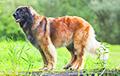10 необычных пород собак, о которых мало кто слышал