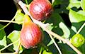 Не только дыни и арбузы: в Лиде плодоносит инжир