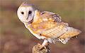 Видеофакт: в Верхнедвинском районе на АЗС залетела редкая сова