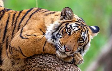 Десять тигров застряли на польско-белорусской границе