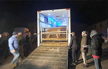 Тигров с польско-белорусской границы доставили в Познань