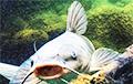 Відэахіт: Рыбак ловіць сома на дражэ і газіроўку