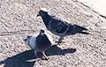 Фотофакт: В Неваде обнаружили голубей в сомбреро