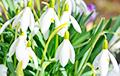 Фотофакт: В Витебске в конце января уже цветут подснежники