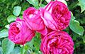 Психологи рассказали, как запах роз влияет на память