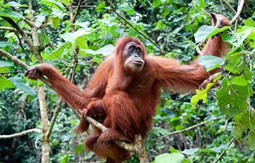 Фотофакт: Дикий орангутан предложил человеку помощь