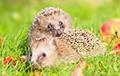 В Великобритании начали устанавливать пабы для ежей