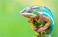 Ученые раскрыли загадку происхождения хамелеонов