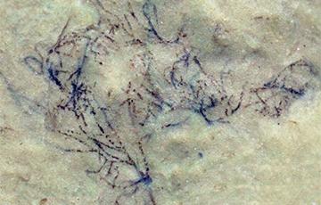В Китае нашли водоросль, которой миллиард лет