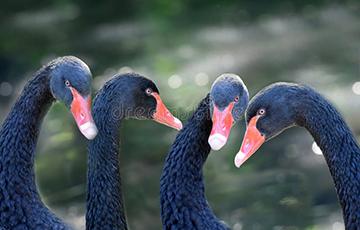 Налет «черных лебедей»
