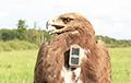 Белорусские орнитологи проследили путь самки подорлика