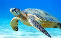 Видеофакт: Черепахи облюбовали пляж на индийском побережье